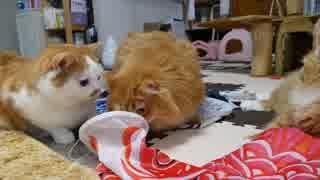 【マンチカンズ】猫たちと鯉のぼり