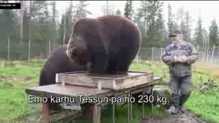 クマがいる日常 (フィンランド最重量のク