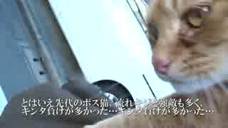 人懐こい茶トラ猫、散歩時に抱っこされる
