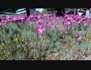 高速度撮影4:揺れる花をスロー再生したらオサレ?→昔のカラオケPV