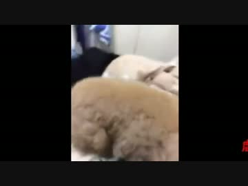 【Reading notice】 Toy poodle abuse This is terrible