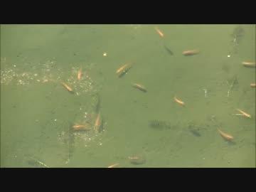 パンツマンの金魚見物。