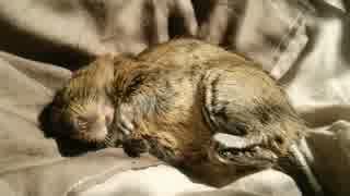 【デグー】日なたの布団を占拠する小動物
