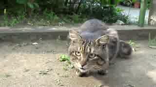 たぬき猫の兄弟猫、隣の公園で悪代官フェイスを存分に披露する