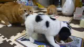 【マンチカンズ】猫一家と子犬の食事風景