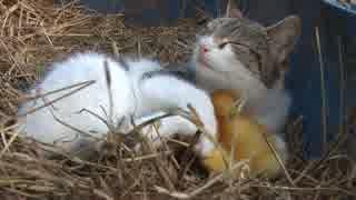 アヒルの赤ちゃんを育てる猫