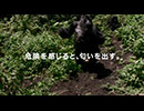 オービィ横浜 これが本当の動物だ ゴリラ ワキ 篇