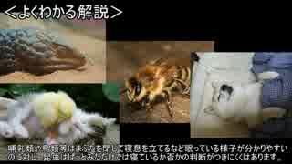 ゆっくり動物雑学「寝不足のハチは…」