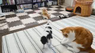 【マンチカンズ】猫と子犬の綱引き大会