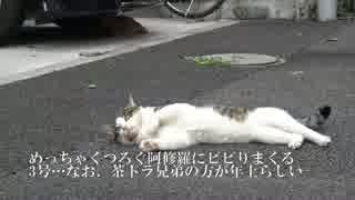 【公園猫戦争】茶トラ猫兄弟、定番のコン