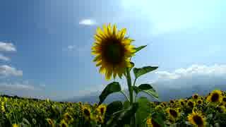 【お気楽バイク旅】夏の空と向日葵【MT-07】