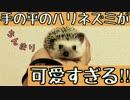 手の平のハリネズミが可愛すぎる!!!Hedgehog