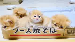 【マンチカンズ】子猫軍団VS大猫軍団