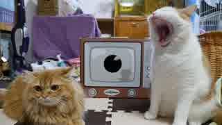 【マンチカンズ】テレビの箱で戯れる猫たち