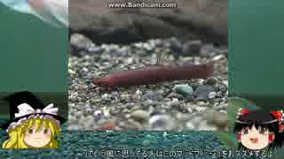 【ゆっくり解説】~ゆっくり熱帯魚紹介~