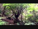 【癒し系BGM】 岩乗りの木とせせらぎと鳥の声① 【自然音】