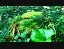 【癒し系BGM】 朽株と苔とせせらぎ① 【自然音】