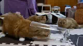 【マンチカンズ】猫と犬の餌の捕り方を観察