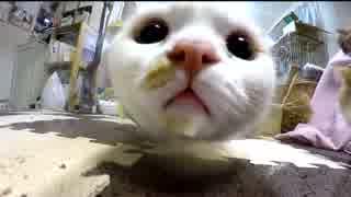 【マンチカンズ】グラスの中の猫たち