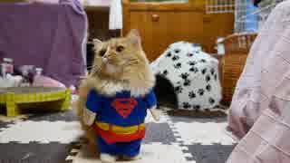 【マンチカンズ】猫のハロウィンコスプレ