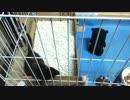 【癒し】 「あずきVSくまもん」 子猫の成長日記