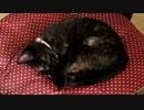 【癒し】 「俺の椅子を返せぇぇぇ」 子猫の成長日記