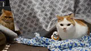 スター・ウォーズと猫たち【マンチカンズ】
