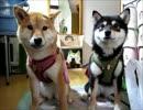 柴犬ゆず・りょうのお散歩(15年12月28日)