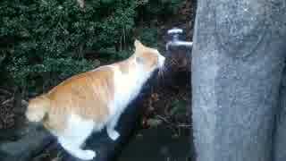 水飲み猫1 どんだけ飲むんだよ!
