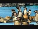 【沢山】 フンボルトペンギンさん達、増えてる? 【勢ぞろい】