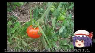 ゆっくり農民28トマトを育ててみませんか?