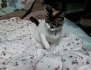 うちの猫:メイちゃんミクちゃん 60 メイちゃんやっぱり持ってくる