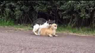 交尾後半の喘ぎがニャィ~!喘ぐメス猫。