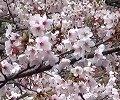 春よ、来い [松任谷 由実] 和楽器バージョン