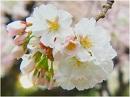 【桜前線便り】靖国神社の桜、桜が繋ぐ皇室と国民[桜H28/4/4]