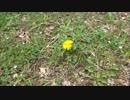 春が来たので。ひとり花見でハイボール飲んでみた