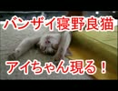 バンザイ寝野良猫アイちゃん現る!
