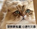 『週刊猫春vs.週刊犬春』に登場した、猫&犬の秘蔵ムービー~  ふーちゃん(約5歳 ♂)チンチラゴールデン