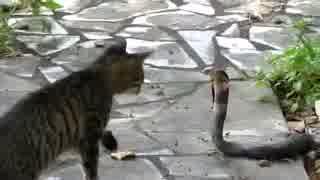 猫vsキングコブラ