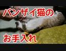 バンザイ猫のお手入れ。外帰りで汚いのでやさしく拭き拭きします。