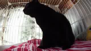黒猫が家にやってきた!【その105】ポンち