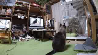黒猫が家にやってきた!【その110】笑える