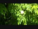 房総モリアオガエルの卵塊