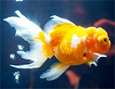 1000匹の美しい金魚に魅了される!「お江戸の金魚ワンダーランド」開催