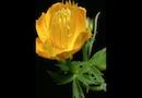 【夏の登山で出会う】魅惑の森の花「キンバイソウ」