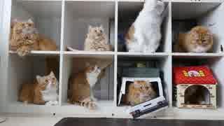 【マンチカンズ】猫マンションを満室にしてみた