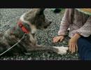 【秋田犬】ばあちゃん、おやつくれ【海くん】