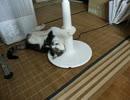 【猫動画】扇風機にまとわりつく猫 ~The cat attacked the ...