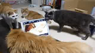 【マンチカンズ】子猫の声に集まる猫たち