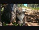 木から蹴落とされて叫ぶコアラ